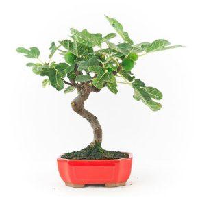 Bonsái 8 años Ficus carica