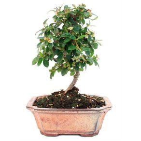 Bonsai 6 años Cotoneaster microphylla