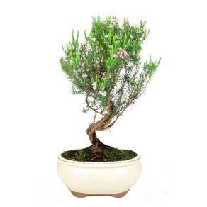Bonsai 7 años Coleonema sp.
