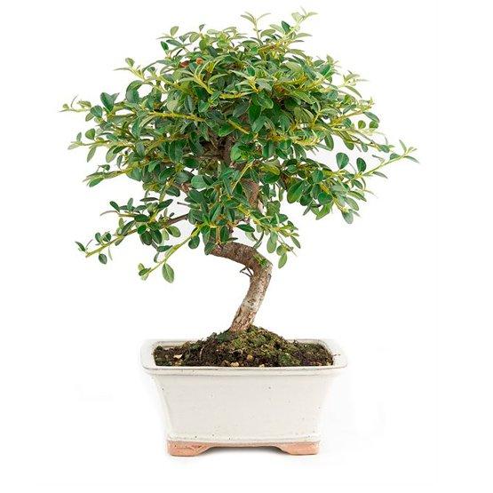 Bonsai 7 años Cotoneaster dammeri