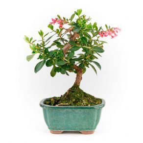 Bonsai 7 años Escallonia sp.