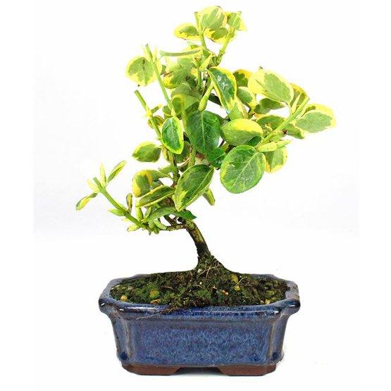 Bonsai 7 años Evonymus sp.