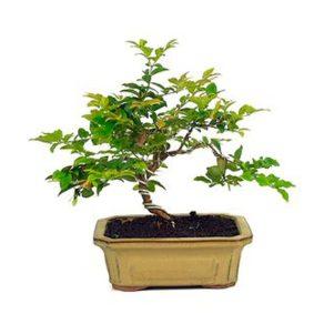 Bonsai 8 años Syzigium buxifolium
