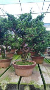 Bonsai Juniperus Itoigawa 19 anos_4