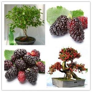 bonsai morera