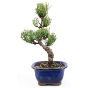 Bonsai 13 anos Pinus Pentaphylla