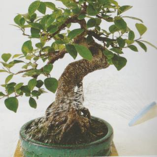 Cada cuanto hay que regar un bonsai
