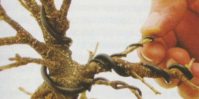 Como alambrar bonsai Ficus 9
