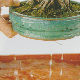 bonsai riego por inmersion