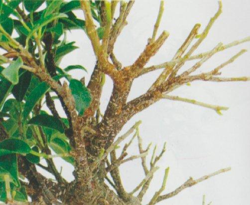 como-pizar-un-bonsai