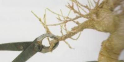 como podar un bonsai
