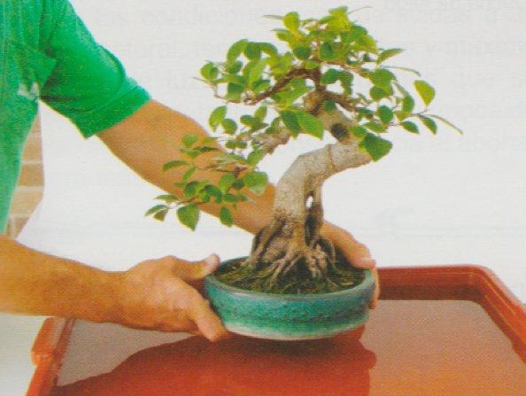 regar-un-bonsai