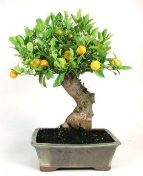 Bonsai 12 años Citrus