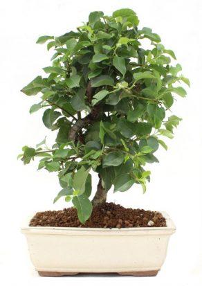 Bonsai 12 años Prunus mahaleb