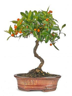 Bonsai 14 años Citrus