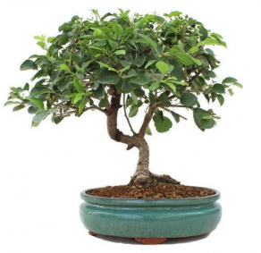 Bonsai 16 anos prunus mahaleb