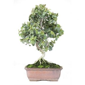 bonsai 14 anos prunus mahaleb